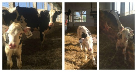 Collage of Bella calf pictures.