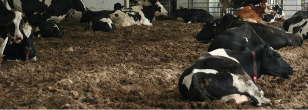 Cows laying on compost pack.