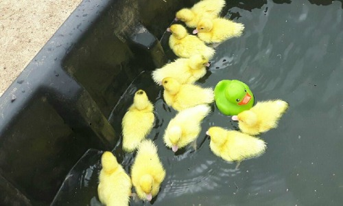 Muscovy Ducks in pond with rubber duck