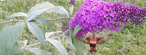 Hummingbird Moth on Miss Ruby Butterfly Bush at Mapleton's Organic