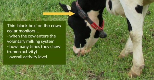 The 'black box' that monitors cows activity (descriptive graphic)