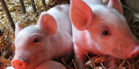 Close up of 2 baby pigs