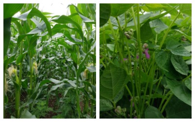 Corn tassling and Black Turtle Beans flowering at Mapleton's Organic