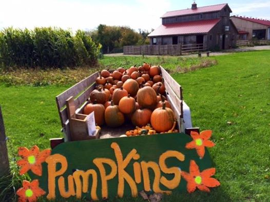 Pumpkins on the farm.