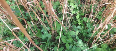 Red Clover as green manure crop